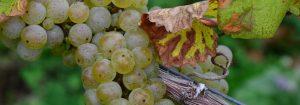 Rieslingtraube kurz vor der Weinlese